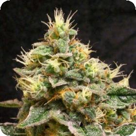 Confidential Cheese Feminised Seeds