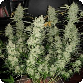 Super Kush Auto Feminised Seeds