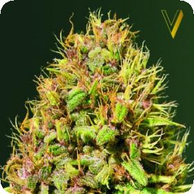 Super Mazar Feminised Seeds