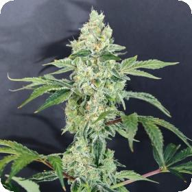 Tangerine Cookies Feminised Seeds