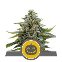 Pumpkin Kush Regular Seeds