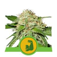 HulkBerry Auto Feminised Seeds