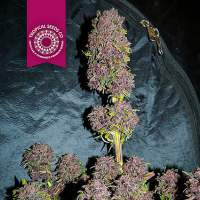 Smooth Smoke Feminised Seeds