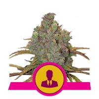 El Patron Feminised Seeds
