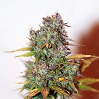 Mini Gun Auto Feminised Seeds