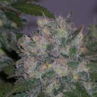 Albino Rhino Regular Seeds