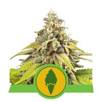 Green Gelato Auto Feminised Seeds