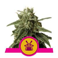 Shogun Feminised Seeds