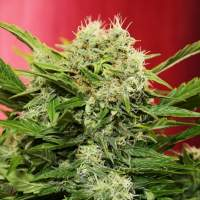 Chronic Ryder Auto Feminised Seeds
