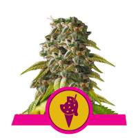 Cookies Gelato Feminised Seeds