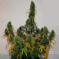 Formula One Auto Regular Seeds