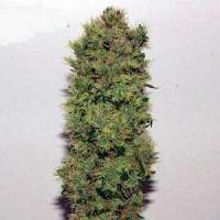 Mr Nice Skunk Haze Regular Seeds