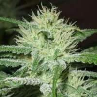 Speed Bud Auto Feminised Seeds
