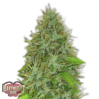 2 Fast 2 Vast Auto Feminised Seeds