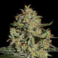 Big Bang Feminised Seeds