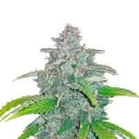 Blue Dream'matic Autoflowering Feminised Seeds