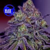 Blue Rhino Feminised Seeds