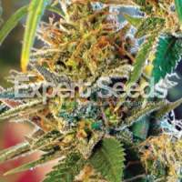 California Orange Feminised Seeds (formerly Orange Skunk) Seeds