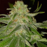 Cinderella 99 Feminised Seeds