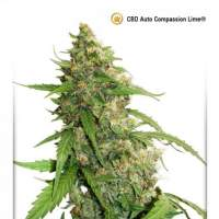 Compassion Lime CBD Auto Feminised Seeds
