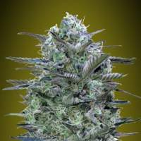 Critical Lemon Feminised Seeds