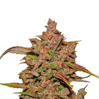 Crystal METH Autoflowering Feminised Seeds