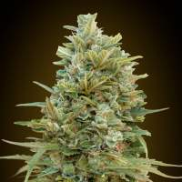 Do-Si-Dos Cookies Auto Feminised Seeds