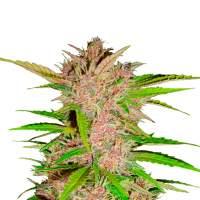 Fastberry Autoflowering Feminised Seeds