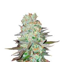 G14 Autoflowering Feminised Seeds