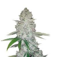 Gorilla Glue Autoflowering Feminised Seeds