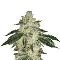 Green Crack Autoflowering Feminised Seeds