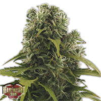 High Density Auto Feminised Seeds