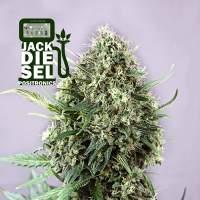 Jack Diesel Feminised Seeds