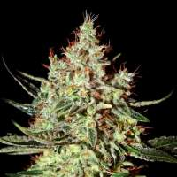 K-Train Feminised Seeds