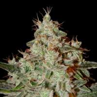 Lemon Skunk Feminised Seeds