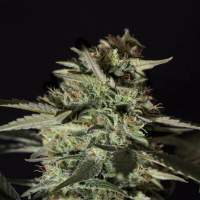 Medizinal CBD Feminised Seeds