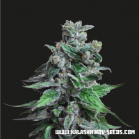 Moscow Bluberry Feminised Seeds