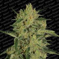 Nebula I:I CBD Feminised Seeds