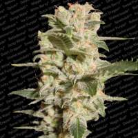 Bella Donna Feminised Seeds