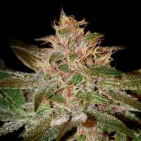 Pure Kush Feminised Seeds