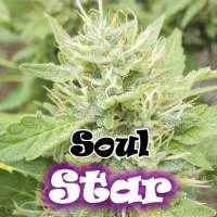 Soul Star Feminised Seeds