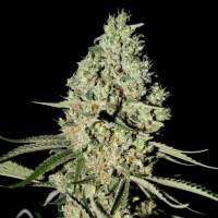 Super Critical Feminised Seeds