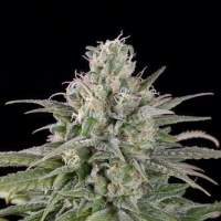 UK Cheese Auto Feminised Seeds