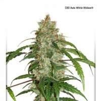 White Widow CBD Auto Feminised Seeds