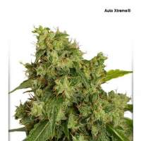 Xtreme Auto Feminised Seeds