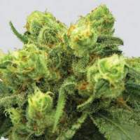 Pre - 99 Big Bud Feminised Seeds