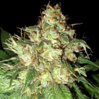 Bubba Cheese Auto Feminised Seeds