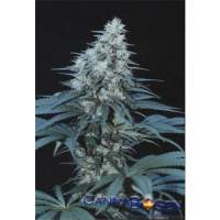 Caribe Feminised Seeds