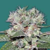 CBD Bomb Feminised Seeds