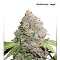 Charlotte's Angel CBD Feminised Seeds